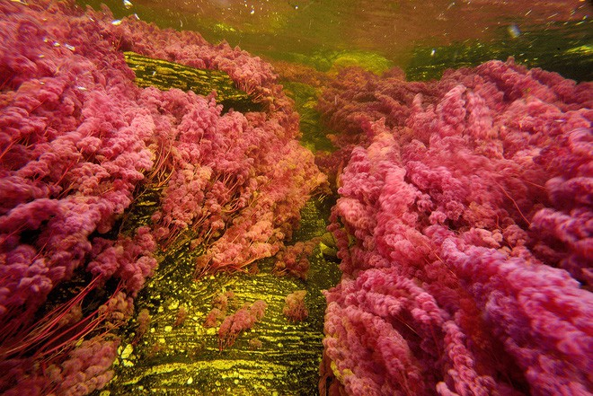 """caño cristales - photo 8 1553946049944910228956 - Đây là con sông đẹp nhất thế giới: Lung linh 5 màu sắc, được mệnh danh là """"cầu vồng sống"""" vi diệu nhất"""