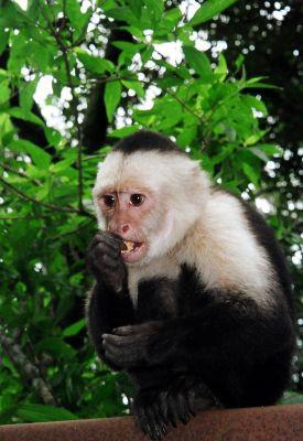 Nghiên cứu của ĐH Yale: Tạo ra tiền tệ riêng dành cho khỉ, kết quả là chúng hành động không khác gì dân đầu tư chứng khoán thứ thiệt - Ảnh 2.