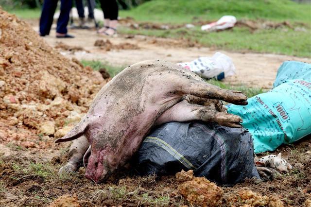 """Dịch tả lợn Châu Phi: """"Vỡ trận"""" do thiếu nhân lực hay do chủ quan? - Ảnh 1."""