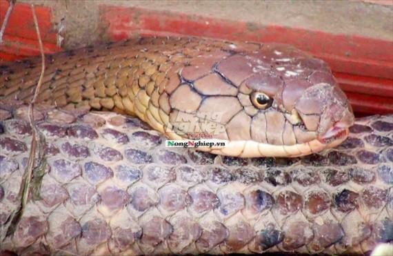 Cận cảnh cặp rắn hổ mây khủng nặng 60kg, dài 7m đầu to bằng nửa cục gạch vừa bắt được ở chân núi Cấm - Ảnh 4.