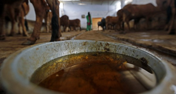 Đại chiến thần bò tại Ấn Độ: Khi nước tiểu bò đắt giá hơn cả sữa - Ảnh 7.