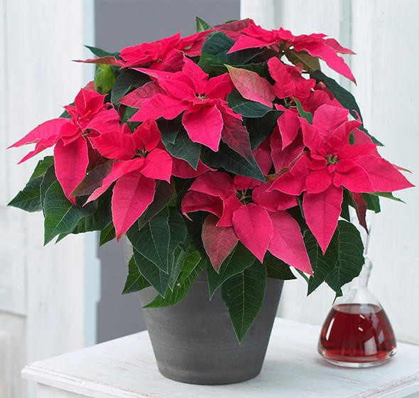 Những loại cây không nên trồng trong nhà để tránh tiêu tán tài lộc, rước bệnh cho gia đình - Ảnh 3.