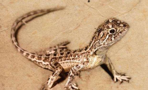 Có một loài rồng thực sự tồn tại trên Trái đất nhưng đã mất tích mà khoa học không hề hay biết - Ảnh 2.