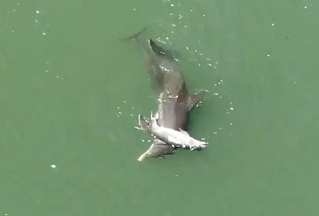Cá heo ôm xác khác con đẩy lên mặt nước trong tuyệt vọng: Câu chuyện buồn chứng minh tình mẫu tử ở động vật là có thật - Ảnh 3.