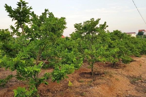 Quảng Ninh: Doanh thu hàng trăm tỷ đồng nhờ trồng na theo hướng VietGap - Ảnh 1.