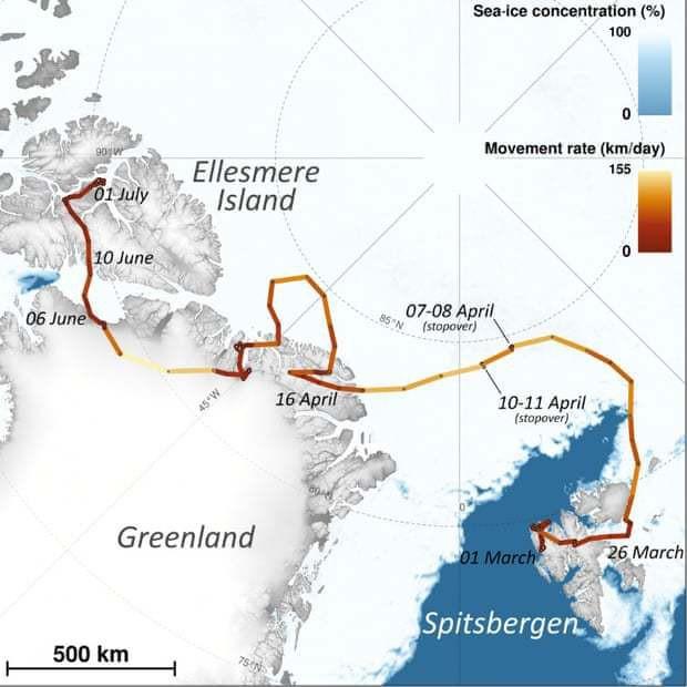 Cáo tuyết Bắc Cực lang thang hơn 4.000 cây số từ Na-Uy sang tận Canada: Lông từ trắng thành xám đen, tưởng hư cấu mà có thật 100% - Ảnh 4.