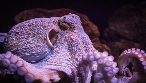 Bạch tuộc chính thức được công nhận là sinh vật quái dị nhất hành tinh và đây là lý do vì sao - Ảnh 1.
