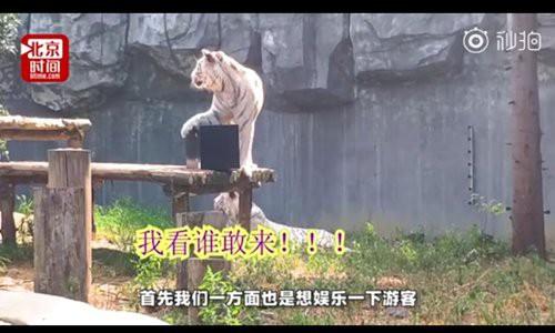 Trung Quốc: Dùng hổ để bảo vệ giấy đăng kí kết hôn, đố ai dám ly hôn mà không xin phép ông hổ - Ảnh 1.