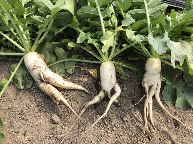 Trước nguy cơ bị vứt bỏ, loạt củ cải trắng xấu xí đã được nông dân Nhật Bản giải cứu nhờ bao bì cực thú vị - Ảnh 1.