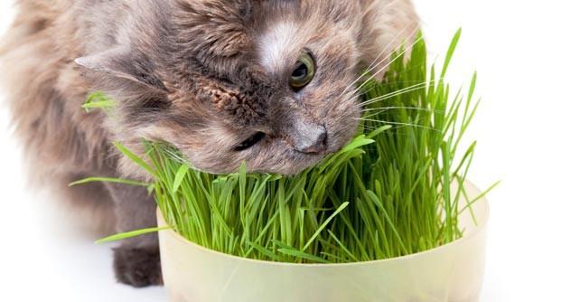Bí ẩn được giải đáp: Tại sao đôi khi lũ mèo ăn cỏ? - Ảnh 1.