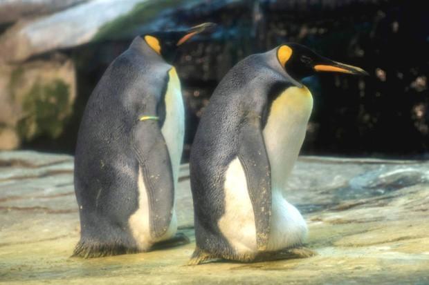 Cặp chim cánh cụt đồng tính được nhận nuôi một quả trứng sau một thời gian dài phải... ấp đá cuội - Ảnh 1.