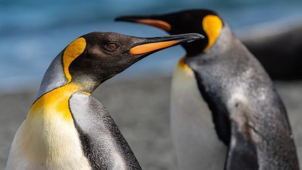Cặp chim cánh cụt đồng tính được nhận nuôi một quả trứng sau một thời gian dài phải... ấp đá cuội - Ảnh 2.