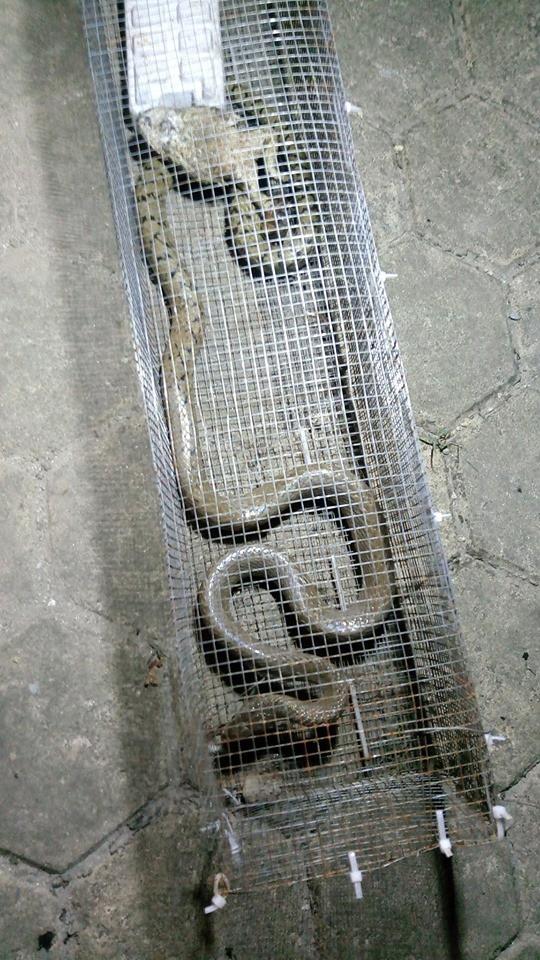 Dân phản ánh rắn hổ mang phi thân ra mổ người đi xe máy tại khu chung cư ở Hà Đông - Ảnh 6.