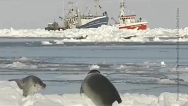 Những hình ảnh hải cẩu bị thảm sát bằng gậy gỗ và góc khuất ít người biết về công việc này tại Canada - Ảnh 1.