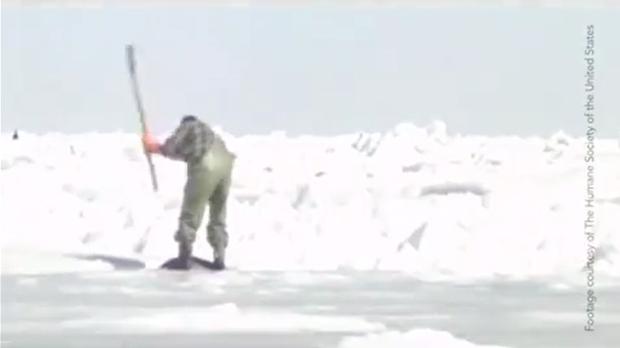 Những hình ảnh hải cẩu bị thảm sát bằng gậy gỗ và góc khuất ít người biết về công việc này tại Canada - Ảnh 2.
