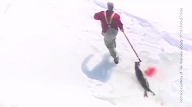 Những hình ảnh hải cẩu bị thảm sát bằng gậy gỗ và góc khuất ít người biết về công việc này tại Canada - Ảnh 4.