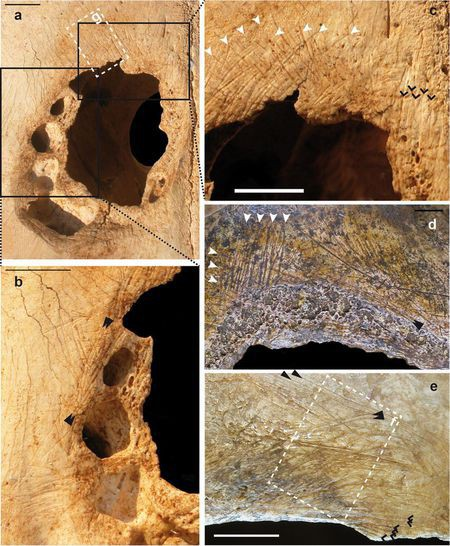 Con người đã thực hiện phẫu thuật sọ trên gia súc từ 5000 năm trước? - Ảnh 1.