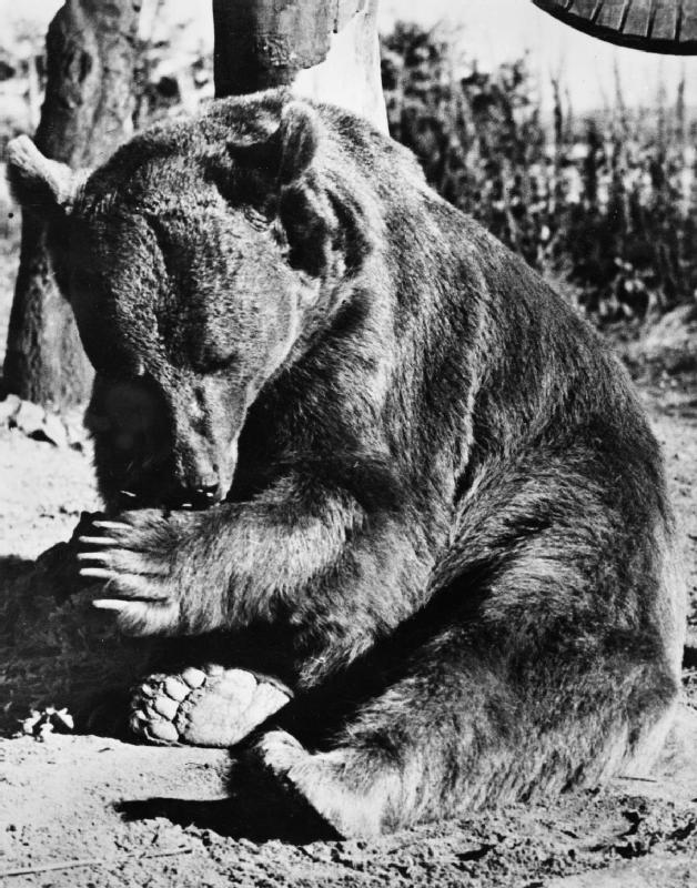 Câu chuyện phi thường của Wojtek: Từ chú gấu mất mẹ đến binh nhì được vinh danh anh hùng và dựng tượng đài trong Thế chiến II - Ảnh 1.