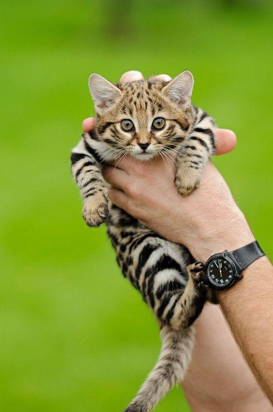 Mèo chân đen: Nhìn thì có vẻ ngây thơ nhưng chúng lại là loài mèo nguy hiểm nhất trên Trái Đất - Ảnh 4.