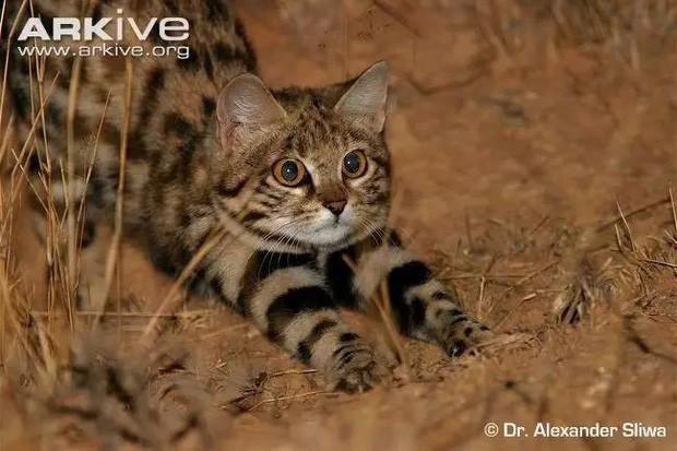Mèo chân đen: Nhìn thì có vẻ ngây thơ nhưng chúng lại là loài mèo nguy hiểm nhất trên Trái Đất - Ảnh 7.