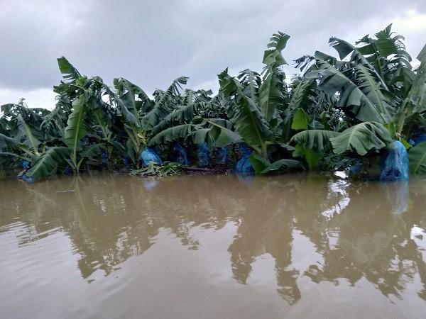 1.500ha trái cây của HAGL tại Lào bị ngập lụt - Ảnh 5.