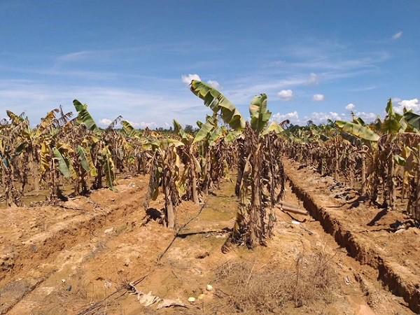 1.500ha trái cây của HAGL tại Lào bị ngập lụt - Ảnh 6.