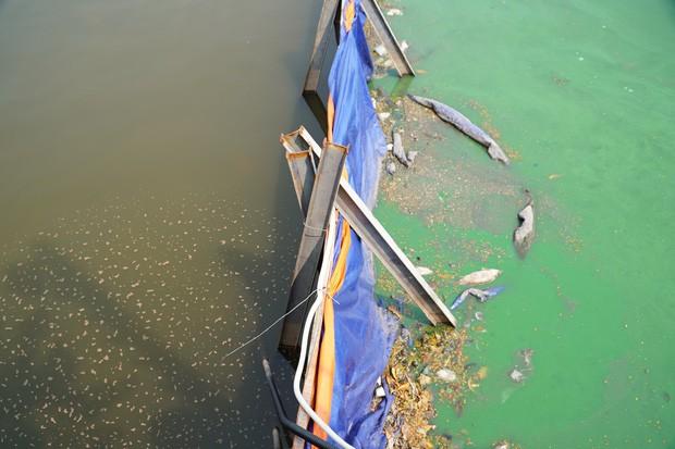 Chuyên gia Nhật thả cá Koi xuống sông Tô Lịch để chứng minh chất lượng nước sau khi xử lý - Ảnh 9.