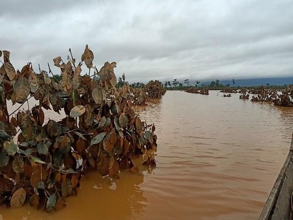 1.500ha trái cây của HAGL tại Lào bị ngập lụt - Ảnh 9.