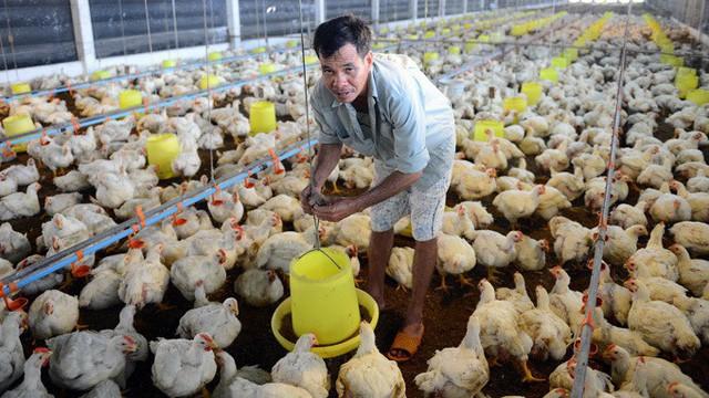 Kỷ lục 10 năm qua, thịt gà rẻ hơn cả rau ngoài chợ - Ảnh 2.