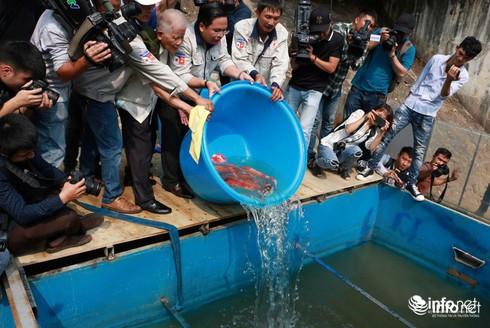 Cá Koi chết tại sông Tô Lịch có bị phá hoại? - Ảnh 9.
