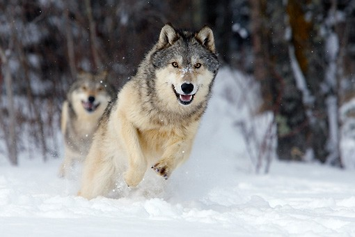 Làm thế nào để khiến chó sói chăm chỉ?: Bải học về phần thưởng xứng đáng cho nhân viên - Ảnh 1.