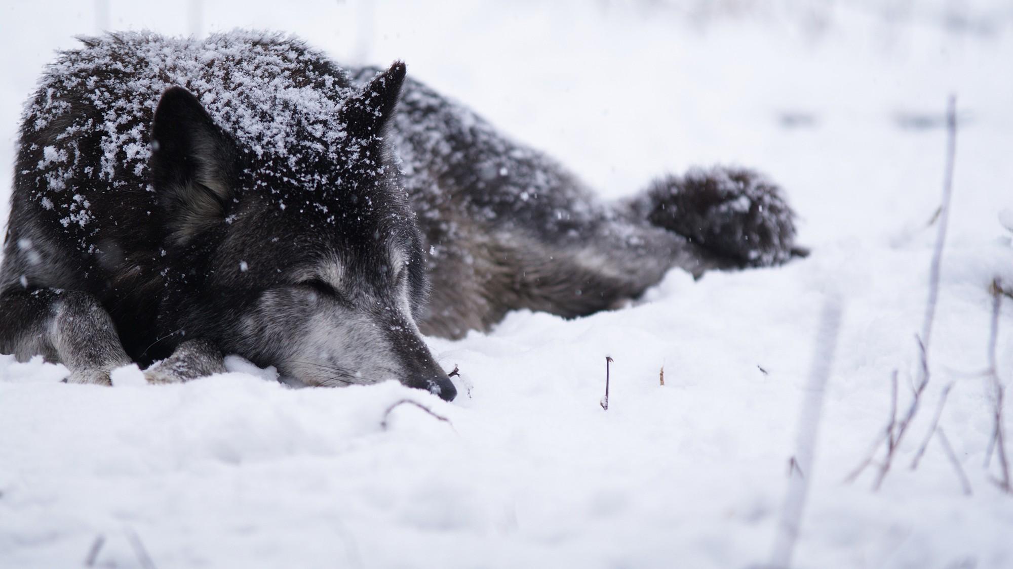 Làm thế nào để khiến chó sói chăm chỉ?: Bải học về phần thưởng xứng đáng cho nhân viên - Ảnh 2.