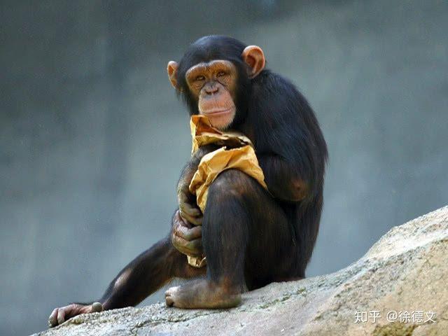 Nếu loài người bị diệt vong, liệu tinh tinh có tiếp tục tiến hóa để trở thành loài người hay không? - Ảnh 4.