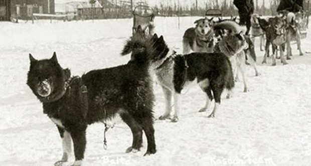Câu chuyện có thật về 150 chú chó husky anh hùng từng cứu sống ngôi làng 10.000 người khỏi căn bệnh bạch hầu tử thần - Ảnh 1.