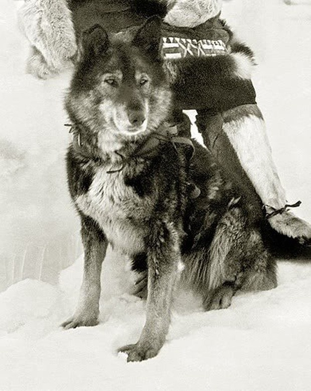 Câu chuyện có thật về 150 chú chó husky anh hùng từng cứu sống ngôi làng 10.000 người khỏi căn bệnh bạch hầu tử thần - Ảnh 3.