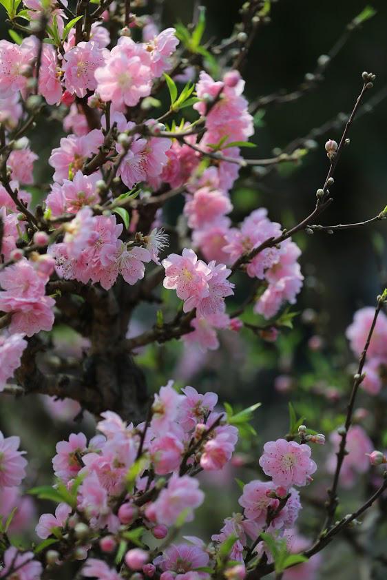Dân buôn nhấp nhổm sợ mất Tết vì đào cảnh nở gần hết hoa, dài cổ chờ khách  - Ảnh 1.