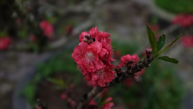 Dân buôn nhấp nhổm sợ mất Tết vì đào cảnh nở gần hết hoa, dài cổ chờ khách  - Ảnh 6.