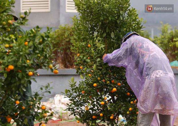 Hà Nội: Mưa gió chiều 30 Tết lại bị ép giá, người buôn đào quất quyết vặt trụi hoa quả và bỏ lại núi rác - Ảnh 2.