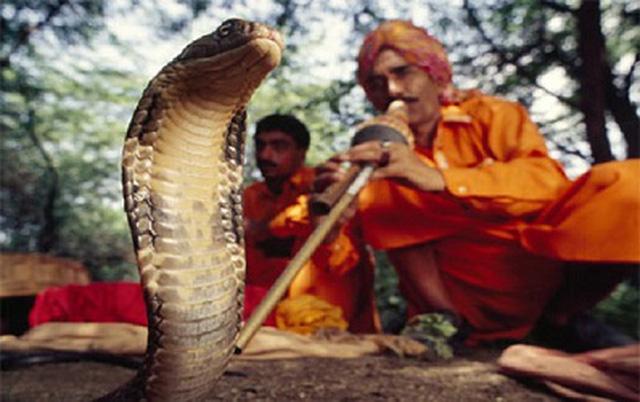 Giải mã bí mật đằng sau màn ảo thuật điều khiển rắn hổ mang bằng kèn của phù thủy rắn Ấn Độ - Ảnh 1.