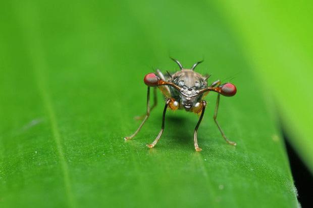 Ruồi cuống mắt: Loài vật sở hữu đôi mắt lồi bất thường nhất trong tự nhiên - Ảnh 11.