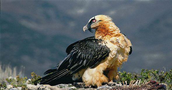 1001 thắc mắc: Không phải chúa tể đại bàng, loài chim nào bay cao nhất thế giới? - Ảnh 3.