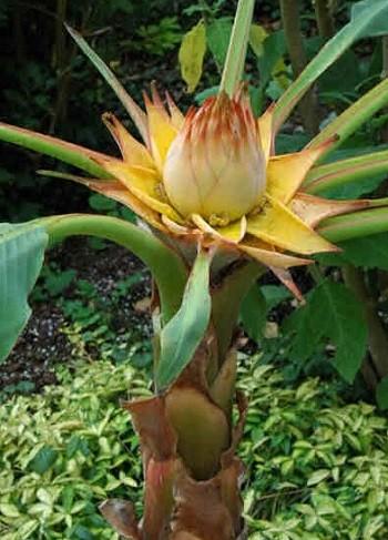 Loài chuối sen vàng này có nguồn gốc từ Trung Quốc và các nước ở khu vực Tây Nam châu Á.