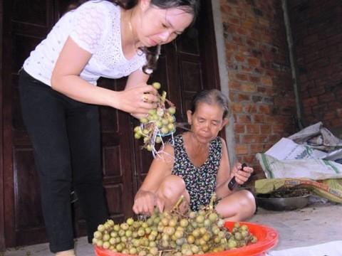 Thương lái Nam Đông thường mua quả mây vừa hái từ rừng để bán sang Trung Quốc.