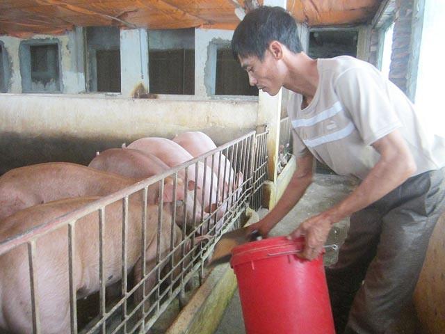 Anh Chuyên áp dụng phương pháp tẩm bổ cho lợn bằng thuốc bắc.