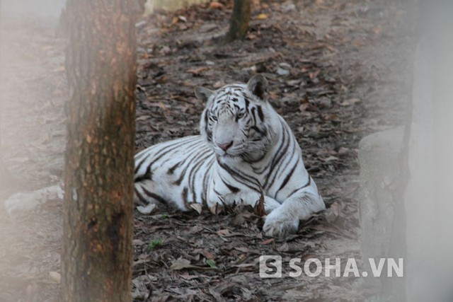 Theo ông Nguyễn Văn Hải - Giám đốc Khu sinh thái Trại Bò, sắp tới Trại tiếp tục đưa các cá thể hươu cao cổ, sư tử trắng, báo về. Hiện công tác làm chuồng đang khẩn trương triển khai gấp rút.