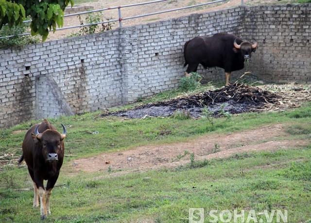 Ngoài ra, Trại Bò còn có 2 cá thể bò tót nhập về từ Châu Phi cũng rất giá trị.