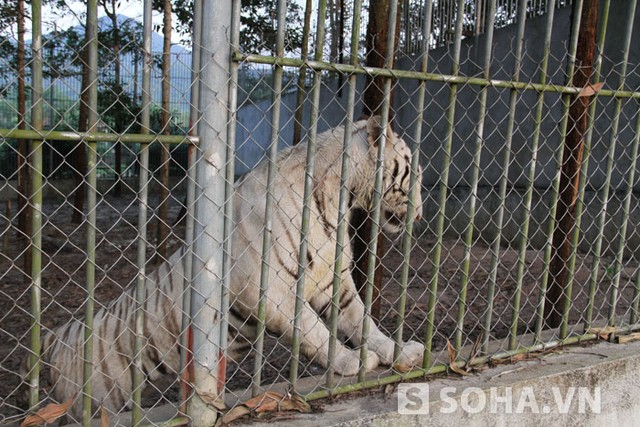 Trại Bò đang nuôi dưỡng 18 con hổ trắng. Trong đó có 3 con vừa mới được sinh ra.