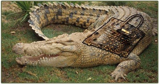 Một chiếc túi tước đi bộ da của khoảng 4 chú cá sấu