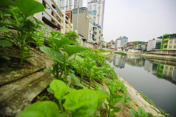 Trong vài năm trở lại đây, nhiều hộ dân tại Ngọc Lâm – Long Biên sống quanh khu vực hồ Tai Trâu đã biến hốc bê tông lát quanh hồ thành những luống rau xanh sạch để phục vụ những bữa ăn hàng ngày trong gia đình.