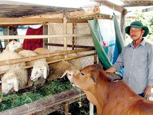 Gắn bó với nghề nuôi dê, cừu nhiều năm nhưng người dân Bắc Ái vẫn nghèo